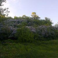 Lilac / сирень, Путивль