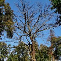 Збараж - мертве дерево, Zbarazh - dead tree, Збараж