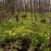 Анемона жовтцева у Ромаховім лісі, Шумское
