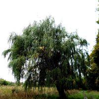 дерево, Близнюки