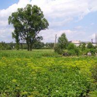 Огород летом, Буды