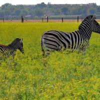Зебры в степи, Аскания-Нова