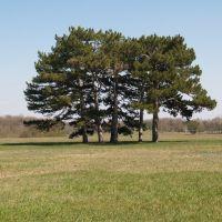 Пять деревьев на поляне, Аскания-Нова