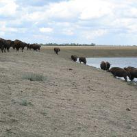 Askania-Nova / bisons, Аскания-Нова