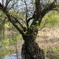 Дерево в плавне, Великая Александровка