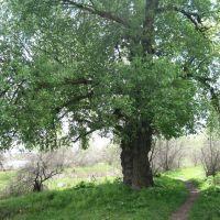 Старый дуб на острове Белогрудовом, Голая Пристань
