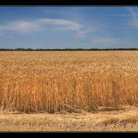 Пшеничные поля - A field of wheat, Горностаевка