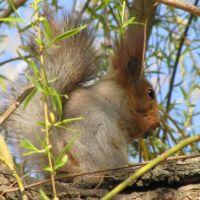 Белка / Squirrel., Горностаевка