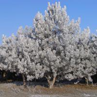 Зимние сосны, Нижние Серогозы