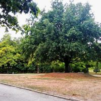 Старый дуб, Херсон