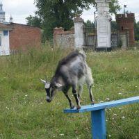 коза, Антонины