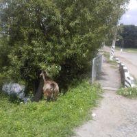 Коза, Базалия