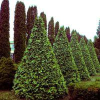 Файні кипариси і туйки посаджені в ЛМГ Нової Ушиці / Сool cypresses and tuyky planted LMG of the New Ushytsya, Новая Ушица
