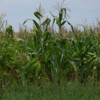 Corn field, Ичня