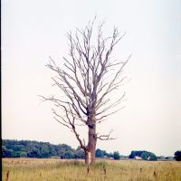 Дерево у полi (Lonely Tree), Короп