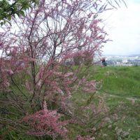 red flower bush, Мисхор