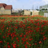poppy field, Мисхор