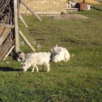 goat and kids, Мисхор