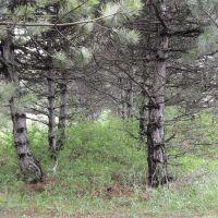 Pines, Мисхор