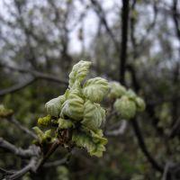 Oak. Quercus pubescens, Мисхор