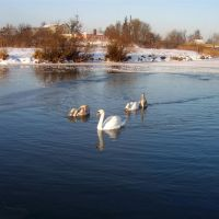 Лебеді на р.Турія_Swans on r.Turiya, Ковель
