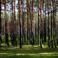 Сосновий ліс, Маневичи
