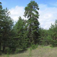 Струнка сосна понад шляхом між селищами Гвардійське та Черкаське, Гвардейское