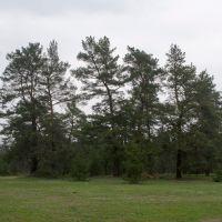 Сосны около Гвардейского, Гвардейское