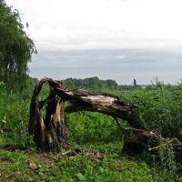 Дерево после удара молнии, Кринички