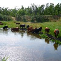 коровы на водопое  2014г., Марганец