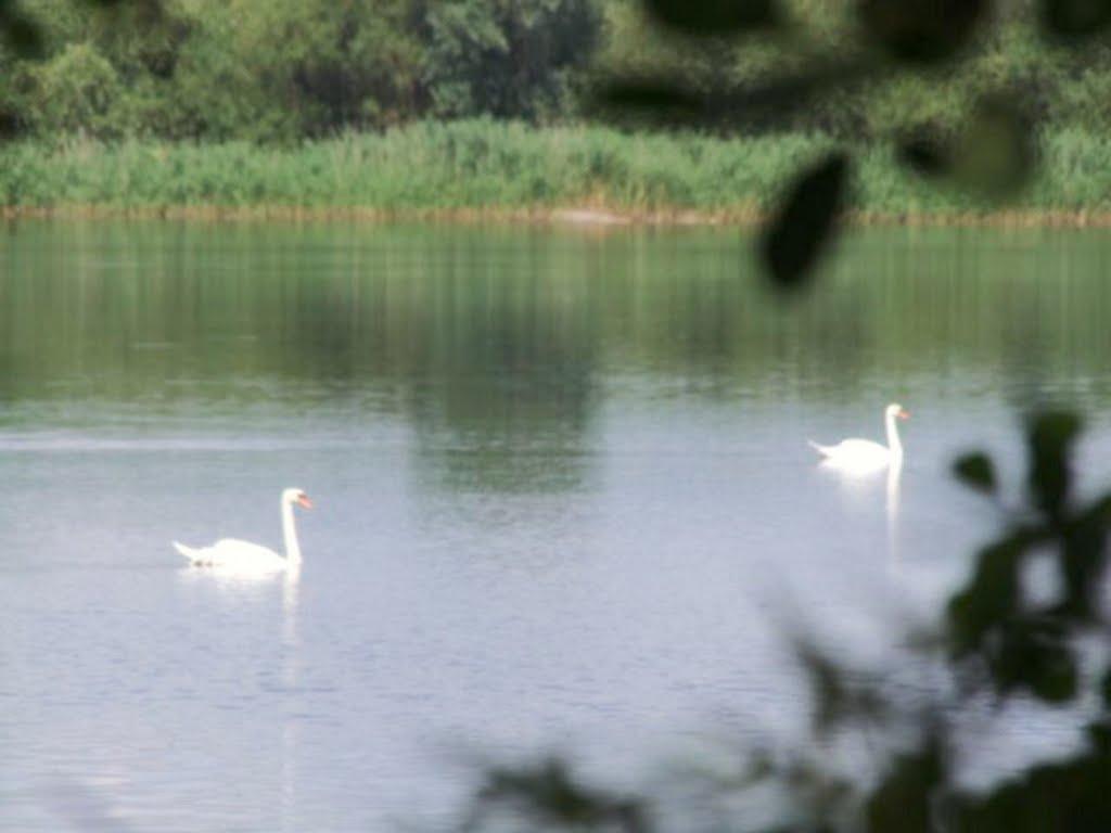 Schwäne auf dem See bei Schweringen (Landkreis Nienburg/Weser, Готтинген