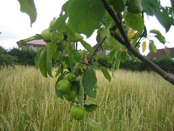 Apple farm in Lingen, Линген