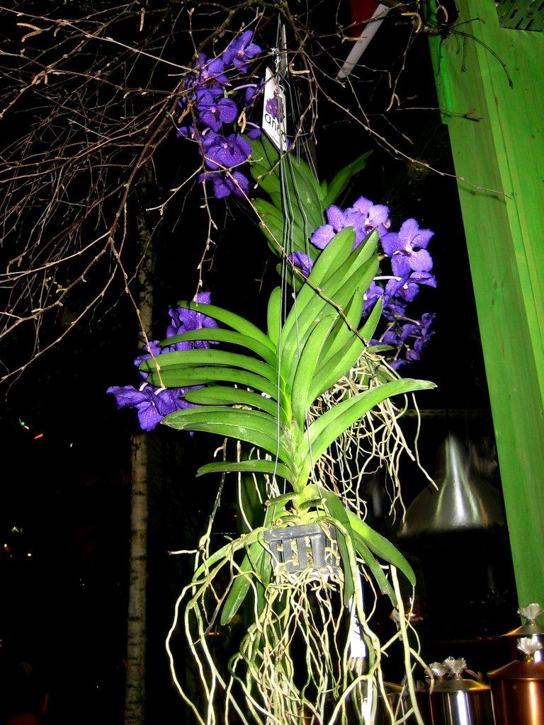 """""""Hängende Orchidee"""" Blumenschau Oldenburg 2009, Ольденбург"""