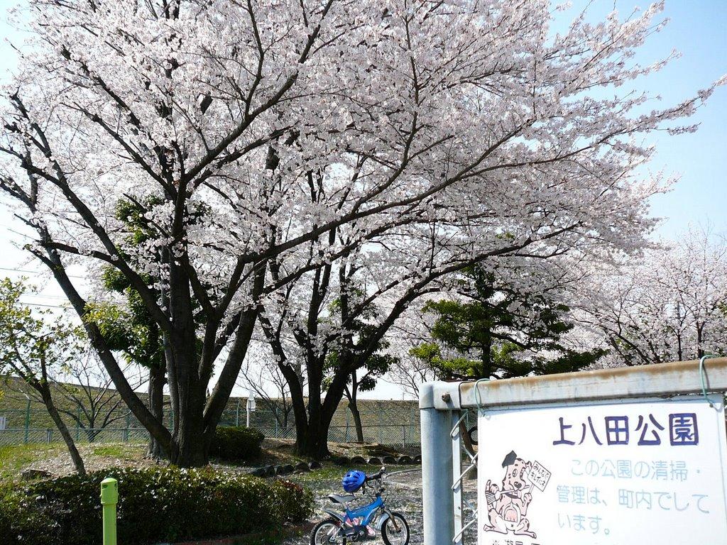 SAKURA 上八田公園の桜, Касугаи