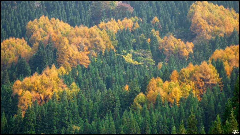 Green Cryptomerias and Yellow Larches, Нагоиа