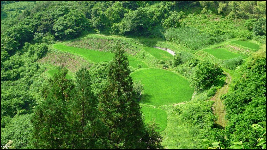 Ricefields at Ogawa Village (Summer), Нагоиа