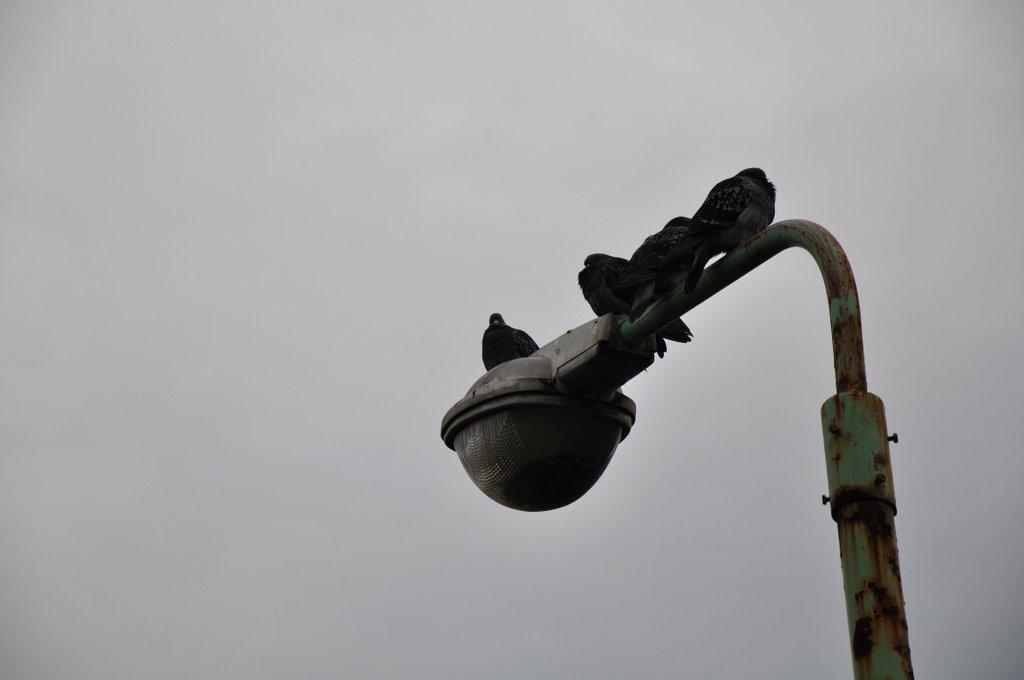 善光寺周辺の街灯の上のハト, Сува