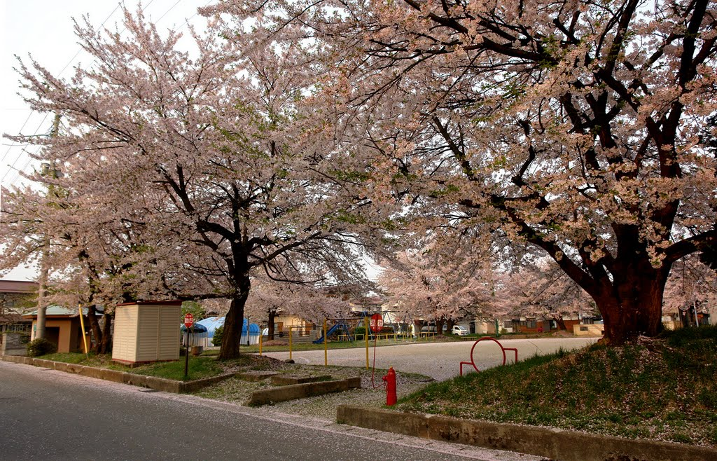 こぼれ桜の若葉町公園, Сасэбо