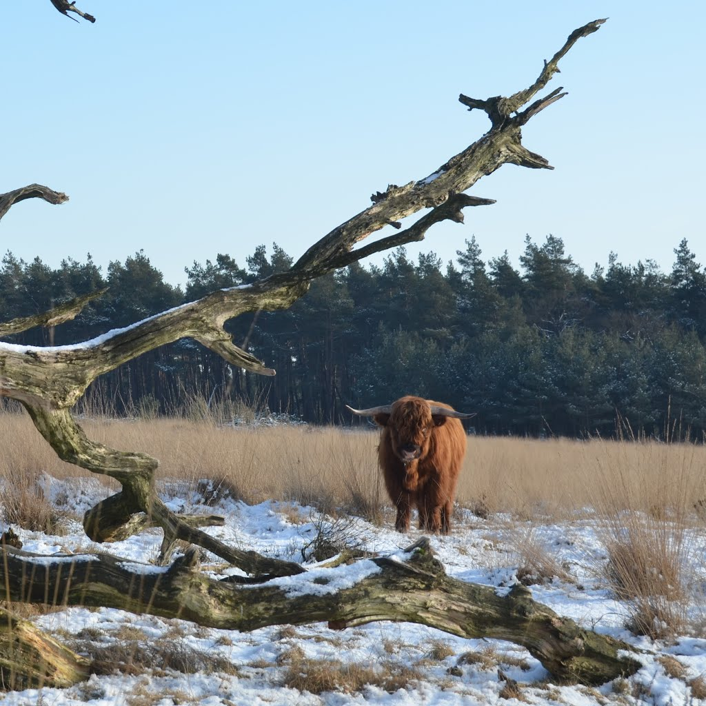 "Lovely just this ""Scottisch cow"" in the heather of Deelerwoud at 5 Februari 2012, Арнхем"