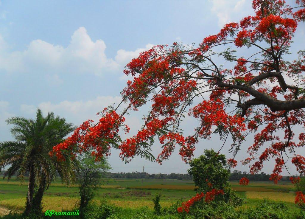 KRISHNACHURA/ GULMOHAR,, NEAR DOSTIPUR,,, WEST BENGAL, Кхарагпур