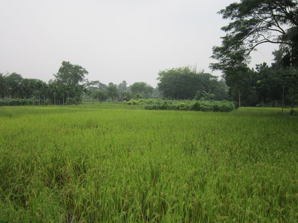Nice Green Field. December, 2012. West Bengal, India., Наихати