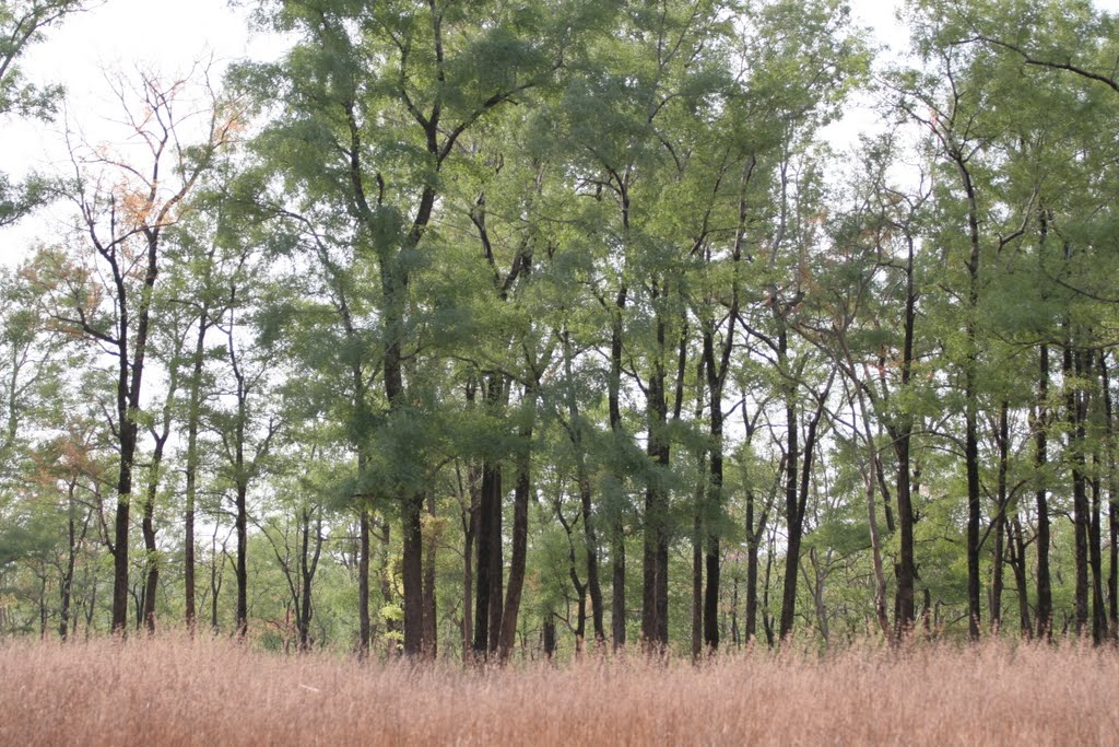 Hardwikia binata (Anjan), Forest, Кхандва