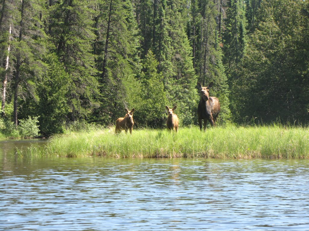 Esnagami Wilderness Lodge Moose Cow and two calves, Маркхам