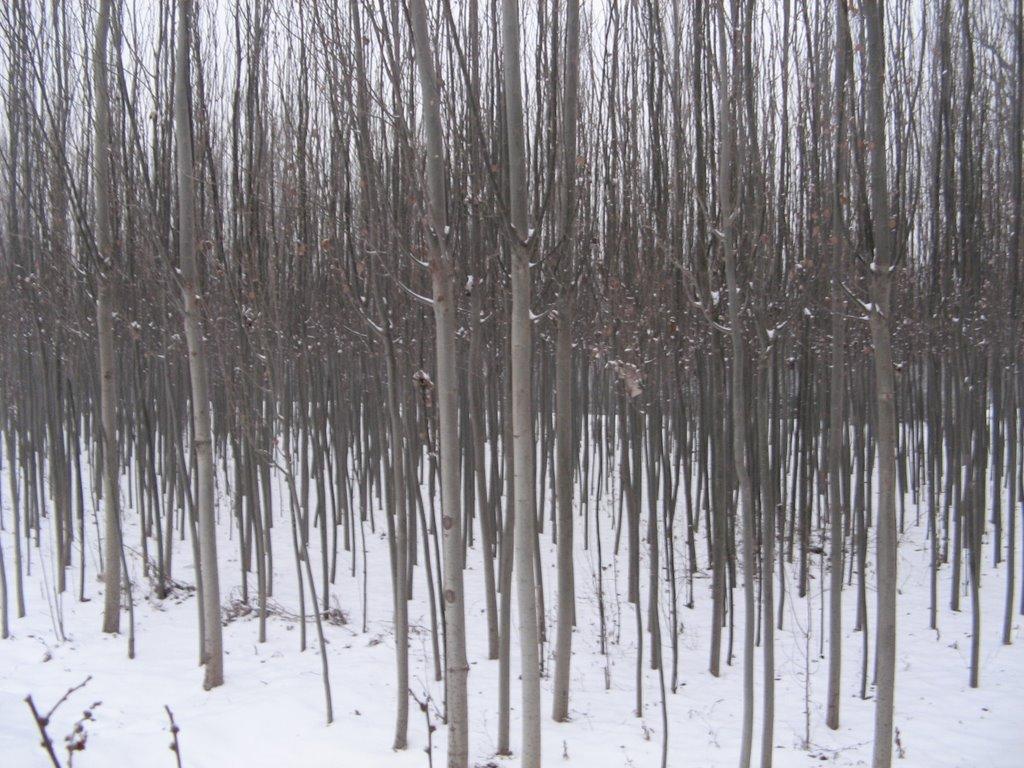 树林(the Woods), Баотоу
