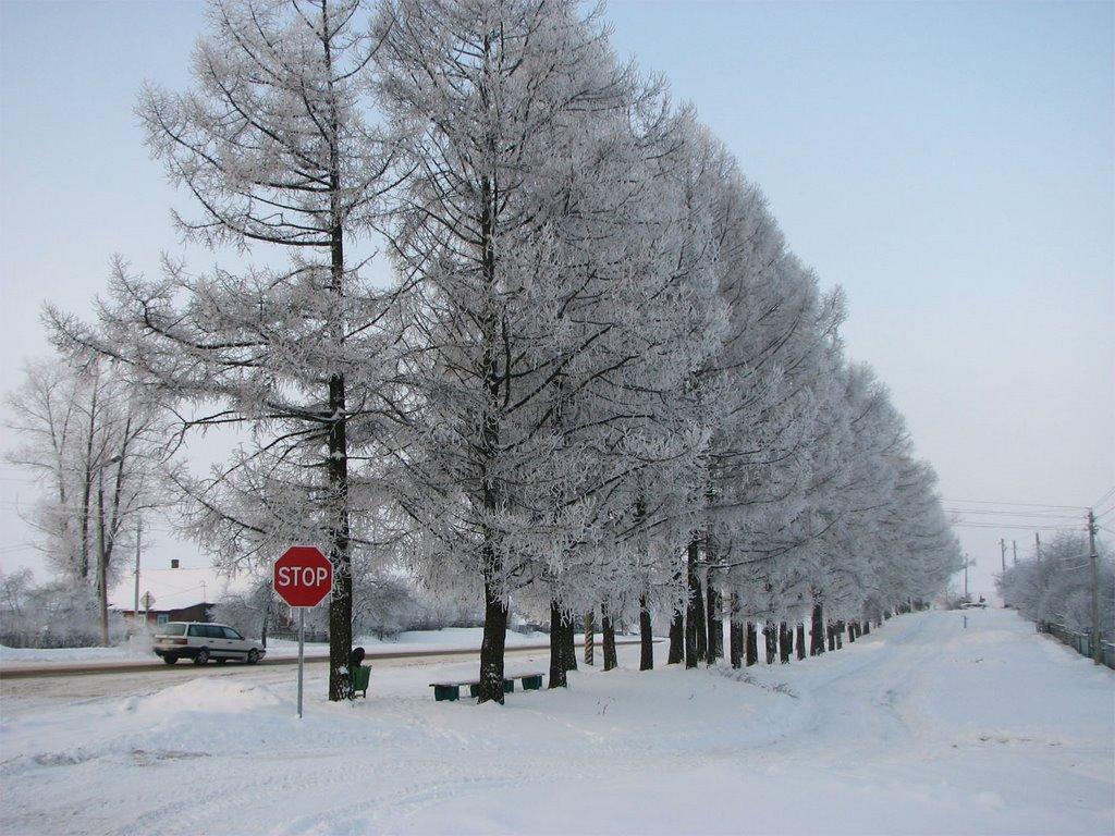 Зимние лиственницы, Толочин