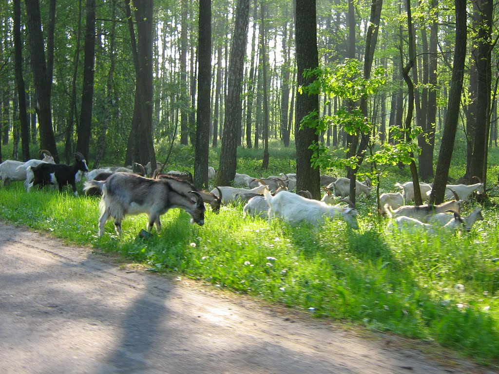 Заблудившееся стадо, Житковичи