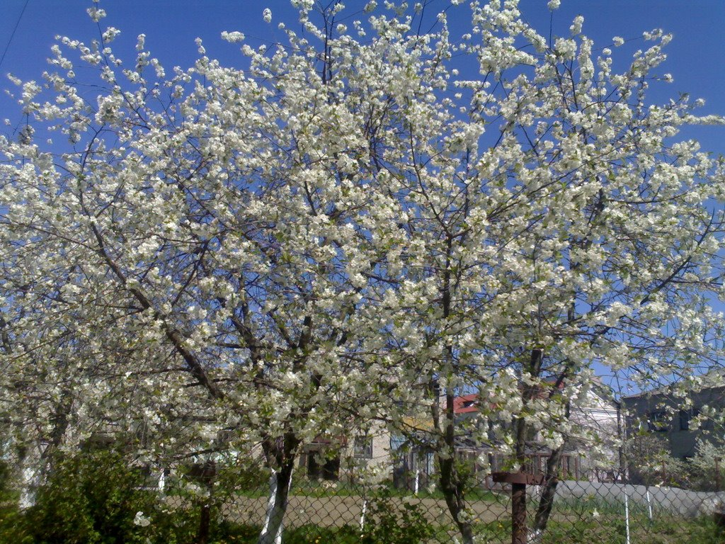 Season of Sakura, Волковыск