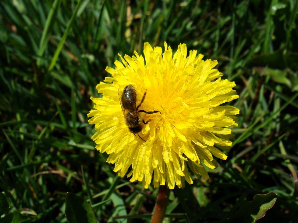 Mlecz, łyczoga (Sonchus L.) & pszczoła  (kwiecień 2009), Замбров
