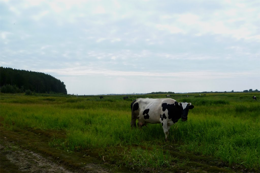 Корова., Игрим