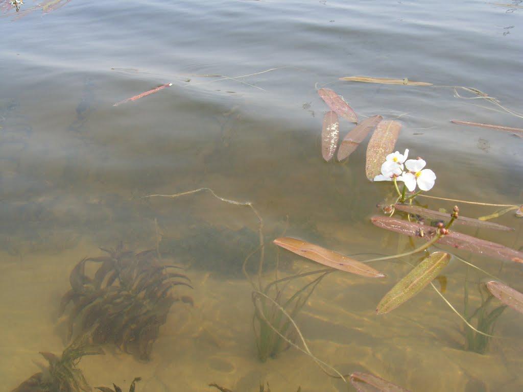 Водокрас. Озеро у Излучинска., Излучинск